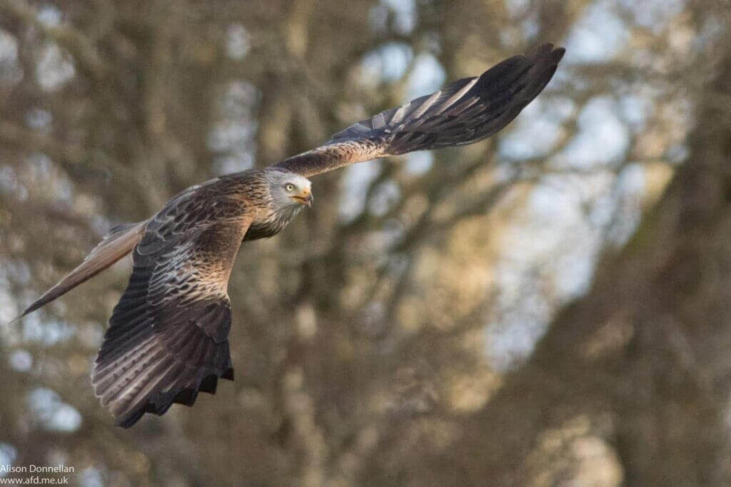 Red Kite at Grigin Farm