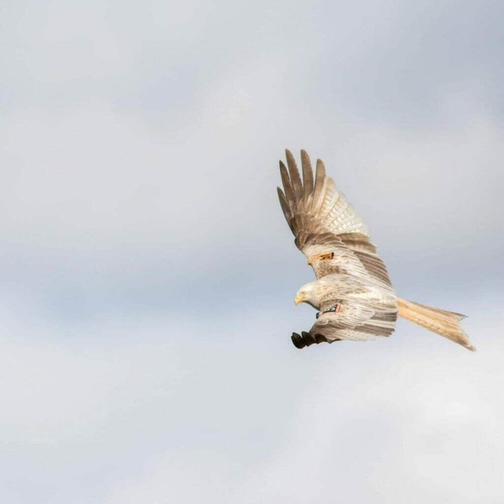 White Red Kite spotted at Grigin Farm