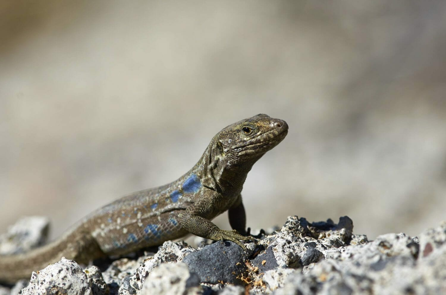 Wildlife photograph of a Southern Tenerife Lizard by Alisonfay.com