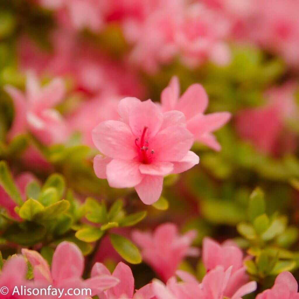 Pink Azalea Flowers at the Bunyko Azalea Festival
