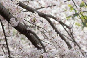 Sakura