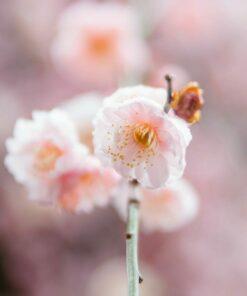 Sakura blossoms in Tokyo