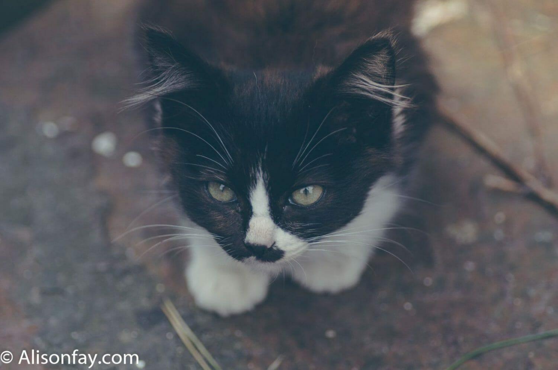Cat on Cat island, Japan