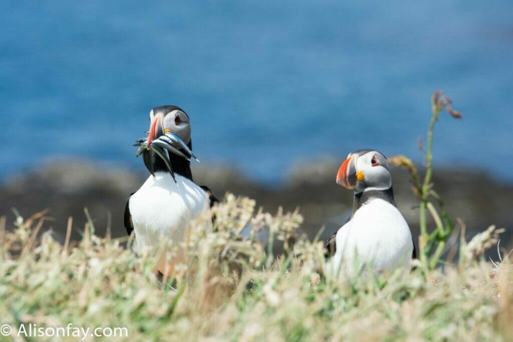 Photo of 2 Puffins on Lunga, Treshnish Isles in Scotland